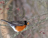 Robin with Berry in Winter